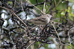 House sparrow in tree. Collecting food Royalty Free Stock Photo