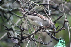 House sparrow in tree Royalty Free Stock Photo