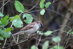 House sparrow in tree. Collecting food Stock Photography