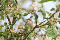 House sparrow. On tree with flowers Royalty Free Stock Photography