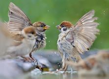 House Sparrow and Tree Sparrow battle near a water shore. House Sparrow and Tree Sparrow fight in water with full view of wings stock image