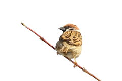 House sparrow on twig over white. Male house sparrow ( Passer domesticus ) on twig, isolation over white background Stock Images