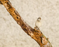 House Sparrow on a twig Royalty Free Stock Photography