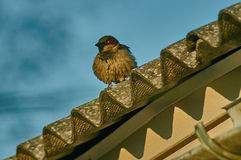 House Sparrow in the village. Stock Photography