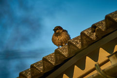 House Sparrow in the village. Royalty Free Stock Photo