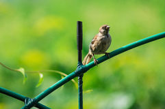 House Sparrow in the village. House Sparrow (Passer domesticus); obsolete binomial name Fringilla domestica) is the most common kind of these sparrows (lat royalty free stock photography