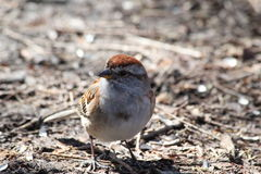 House Sparrow. This is a House Sparrow walking on the ground Stock Photo