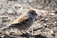 House Sparrow. This is a House Sparrow walking on the ground Stock Photography