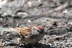 House Sparrow. This is a House Sparrow walking on the ground and eating bird seed Stock Photos