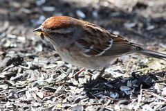 House Sparrow. This is a House Sparrow walking on the ground and eating bird seed Stock Images