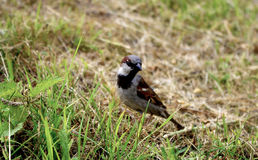 House sparrow watching Royalty Free Stock Photography