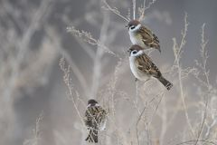 House sparrow in the wild extracts food Stock Image