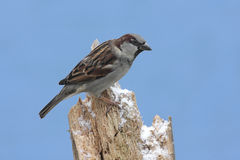 House Sparrow in Winter Royalty Free Stock Photography