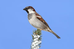 House Sparrow in Winter Royalty Free Stock Images