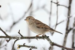House Sparrow in Winter Stock Photography