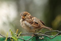 House sparrow on wire fence Royalty Free Stock Photography