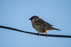 House Sparrow on a wire. House Sparrow (Passer domesticus); obsolete binomial name Fringilla domestica) is the most common kind of these sparrows (lat. Passer stock photo