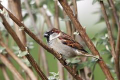 House Sparrow (Passer domesticus) Royalty Free Stock Photography