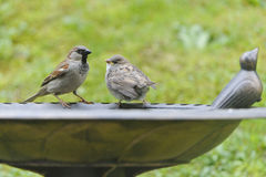 House Sparrow. Young House Sparrow on a bird bath Stock Photography