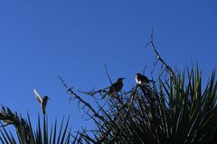 House sparrows on branch against blue sky - Passer domesticus. Small birds, a male and female house sparrow, sitting on a bare branch in the desert at an Arizona royalty free stock image