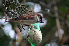 House sparrows eating fat ball Royalty Free Stock Photo