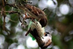 House sparrows eating fat ball Stock Photos