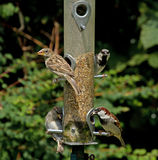 House Sparrows on feeder. Male, female and young House Sparrows on garden feeder Royalty Free Stock Photography