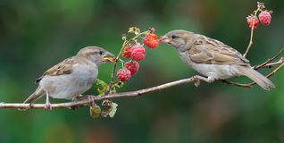 House Sparrows eats a raspberry cane berries with enjoy stock images