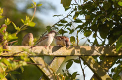 House sparrows on fence. Group of House sparrows sitting on garden fence with climbing plants in evening sun Royalty Free Stock Image