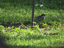 House Sparrows Stock Photo