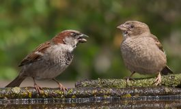House sparrows male and female makes fun of each other near a water pond stock image
