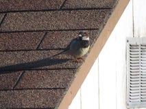 House Sparrows Royalty Free Stock Photos