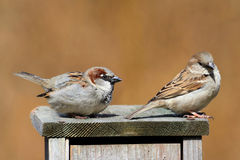 House Sparrows (Passer domesticus). Pair of House Sparrows (Passer domesticus) courting on a bird house stock image