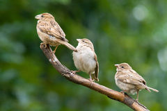 House sparrows passer domesticus. 3 adult female house sparrows Royalty Free Stock Images