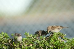 House sparrows Passer domesticus searching for food. Female to the right. Auckland. North Island. New Zealand stock photography