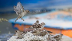 Sparrows is playing on the rock royalty free stock photography