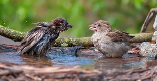 House sparrows playing with each other in a water pond royalty free stock image