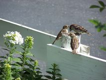 House sparrows sharing seed Royalty Free Stock Photography