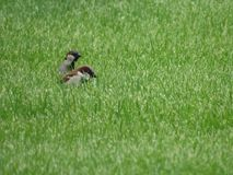 House Sparrows Royalty Free Stock Photo