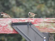 House Sparrows Royalty Free Stock Images