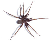 House Spider. Picture of a House Spider found in Nottinghamshire, UK Stock Photography