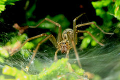 House spider Stock Images