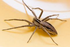 House spider Royalty Free Stock Photo