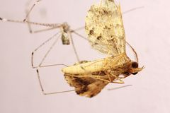 House spider eats moth Stock Image