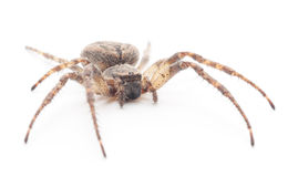 House spider Royalty Free Stock Photos