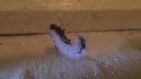 House spider and its prey, a hairy caterpillar stock video footage