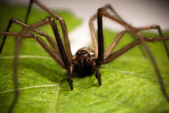 House spider Stock Photos