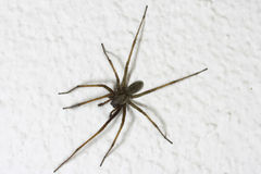 House Spider (Tegenaria atrica) Royalty Free Stock Image