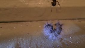 House spider trying to prepare a hairy larva for to eat it stock footage
