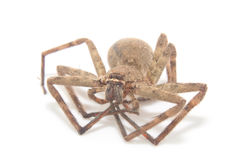 House Spider  on white Stock Images